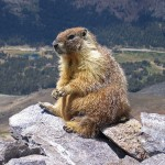 The Mongol and The Marmot: A Symbiosis