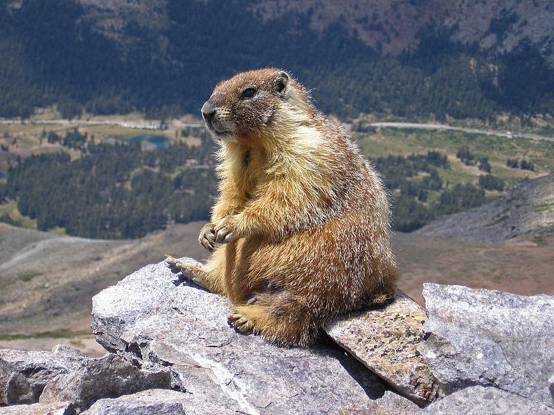 The Marmot: Carrier of Plague and Tasty as Well